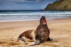 在海滩的野生海狮,新西兰 免版税库存照片