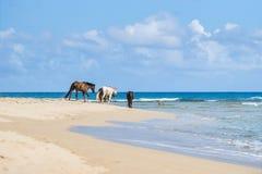 在海滩的野马 库存图片