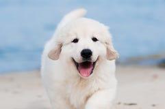在海滩的金毛猎犬小狗 库存照片