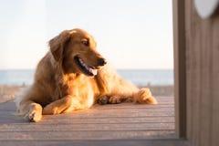 在海滩的金毛猎犬 免版税库存图片
