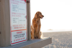 在海滩的金毛猎犬 库存照片