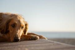 在海滩的金毛猎犬 免版税库存照片