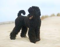 在海滩的长卷毛狗 免版税库存照片