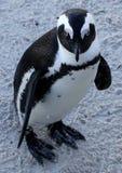 在海滩的非洲企鹅(蠢企鹅demersus)特写镜头,西开普省,南非 免版税库存图片