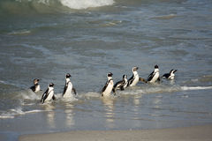 在海滩的非洲企鹅 免版税库存照片