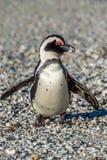 在海滩的非洲企鹅 库存图片