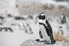 在海滩的非洲企鹅 免版税库存图片