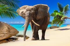 在海滩的非洲大象 库存照片