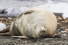 在海滩的食蟹动物封印 免版税图库摄影