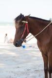 在海滩的马 库存图片