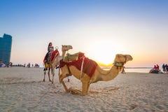 在海滩的骆驼乘驾在迪拜小游艇船坞 免版税图库摄影