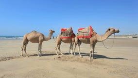 在海滩的骆驼在摩洛哥 库存图片