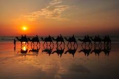 在海滩的骆驼由日落布鲁姆澳大利亚 库存照片