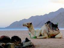 在海滩的骆驼 免版税库存图片