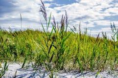 在海滩的高芦苇 库存图片