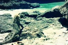 在海滩的鬣鳞蜥 库存照片