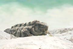 在海滩的鬣鳞蜥 免版税图库摄影