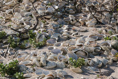在海滩的鲍鱼壳 库存照片