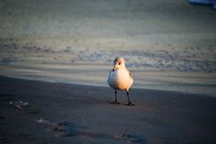 在海滩的鲱鸥 免版税库存照片