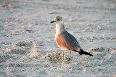 在海滩的鲱鸥 库存照片