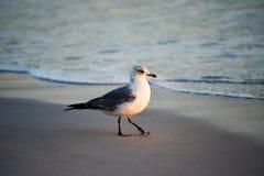 在海滩的鲱鸥 图库摄影