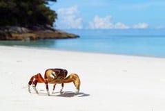 在海滩的鸡螃蟹Tachai海岛 免版税图库摄影
