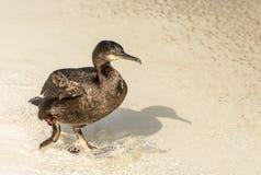在海滩的鸬鹚 免版税库存图片