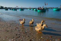 在海滩的鸭子 库存图片