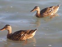 在海滩的鸭子 免版税库存照片