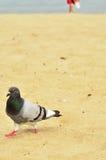 在海滩的鸽子 免版税库存图片