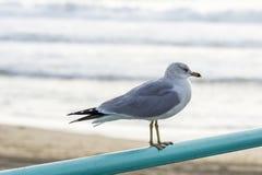 在海滩的鸽子 免版税库存照片