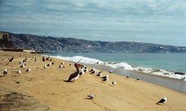 在海滩的鹈鹕瓦尔帕莱索 免版税库存照片