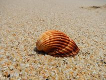 在海滩的贝壳 库存图片