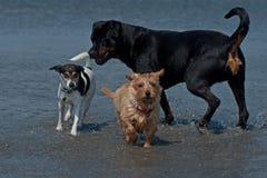 在海滩1的3条嬉戏的狗 免版税库存照片