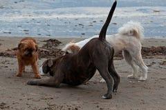 在海滩2的3条嬉戏的狗 图库摄影