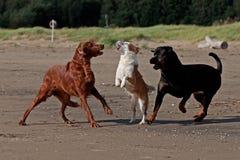 在海滩10的3条嬉戏的狗 库存图片