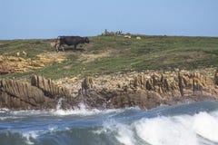 在海滩的黑母牛 库存图片