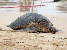 在海滩的绿海龟,奥阿胡岛,夏威夷 库存照片