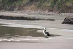 在海滩的黑白粗毛 免版税库存照片