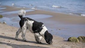 在海滩的黑白长卷毛狗 免版税库存图片
