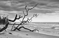 在海滩的死的树在拉脱维亚 免版税库存照片