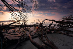 在海滩的死的树 库存照片