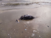 在海滩的死的鸬鹚 免版税库存图片