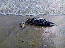 在海滩的死的鸬鹚 库存照片