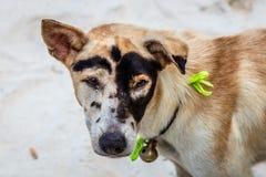 在海滩的滑稽的被仿造的狗,努沙Lembongan,印度尼西亚 免版税库存图片