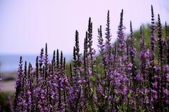 在海滩的紫色野花 图库摄影