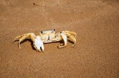 在海滩的巴西螃蟹在Buzios RJ 库存照片