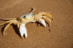 在海滩的巴西螃蟹在Buzios RJ 库存图片