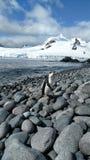 在海滩的Chinstrap企鹅 免版税库存照片