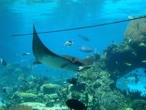 在海洋的deap的黄貂鱼 澳大利亚费用 免版税库存照片